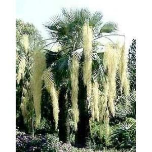 Palma niebieska (Brahea Armata) 1 świeże nasiono