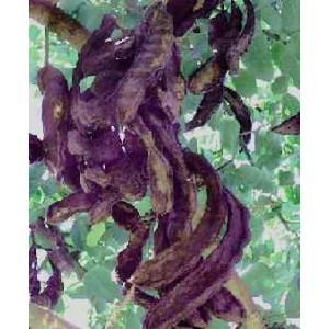 Chleb świętojański (Ceratonia Siliqua) świeże nasiona  5 szt