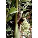 Palma Orzechowa, Kariota łagodna (Caryota Mitis) nasiona