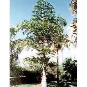 Palma Orzechowa, Kariota Parząca (Caryota Urens) 3 nasiona