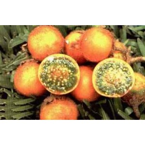 Naranjila Owocująca (Solanum Quitoense) nasiona 5 szt