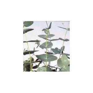 Eukaliptus (Eucaliptus Periniana) nasiona 10 szt