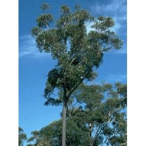 Eukaliptus (Eucaliptus Sieberi) nasiona 10 szt