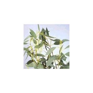 Eukaliptus (Eucaliptus Coccifera) nasiona 10 szt