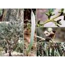 Eukaliptus (Eucaliptus Goniocalyx) nasiona