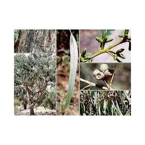 Eukaliptus (Eucaliptus Goniocalyx) nasiona 10 szt