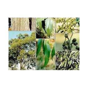 Eukaliptus (Eucaliptus Obliqua) nasiona 10 szt