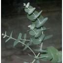Eukaliptus (Eucaliptus Glauscens) nasiona