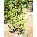 Eukaliptus (Eucaliptus Regnans) nasiona