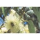 Eukaliptus Gałkowy (Eucaliptus Globulus) nasiona