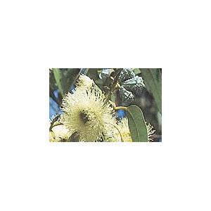 Eukaliptus Gałkowy (Eucaliptus Globulus) nasiona 10 szt