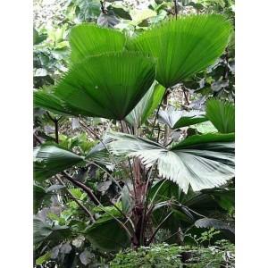 Palma Wachlarzowata (Licuala Grandis) 1 świeże nasiono