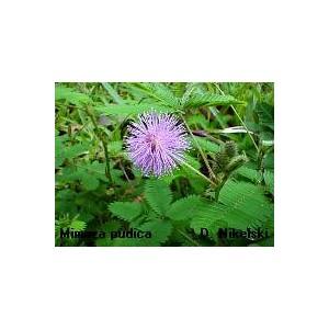 Mimoza, Czułek wstydliwy (Mimosa Pudica) nasiona 30 szt