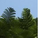 Metasequoia Glyptostroboides (Metasekwoja) nasiona