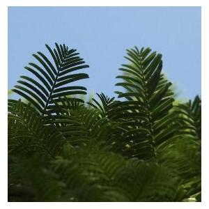 Metasequoia Glyptostroboides (Metasekwoja) nasiona 500 szt