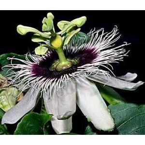 Męczennica (Passiflora Edulis) nasiona 40 szt