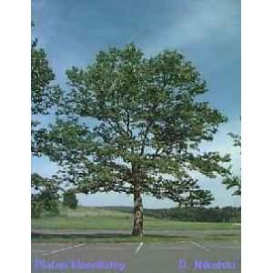 Platan (Platanus Acerifolia) nasiona - wyprzedaż 50 szt