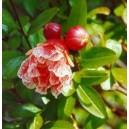 Granat Owocujący (Punica Granatum) nasiona