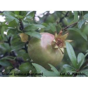Granat Karłowy (Punica Granatum nana) 3 świeże nasiona