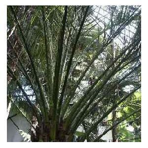 Daktylowiec (Phoenix Dactylifera) nasiona 5 szt