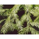 Sekwoja (Sequoia Sempervirens) nasiona