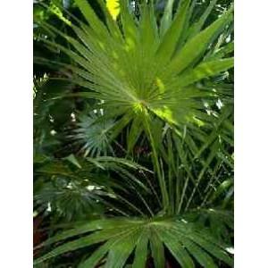 Thrinax radiata (Palma) nasiona 5 szt