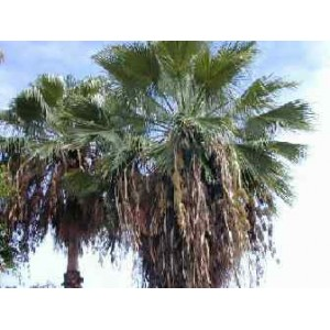 Palma Washingtonia Robusta - świeże nasiona 50 szt