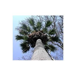 Palma Washingtonia świeże nasiona 1000 szt