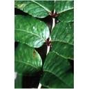 Pieprz Chiński (Zanthoxylum Bungeanum) nasiona