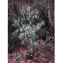Eukaliptus (Eucaliptus Delegatensis) nasiona