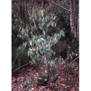 Eukaliptus (Eucaliptus Delegatensis) nasiona 10 szt