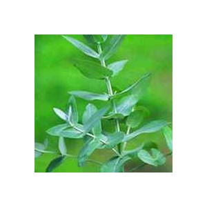 Eukaliptus (Eucaliptus Archeri) nasiona 10 szt
