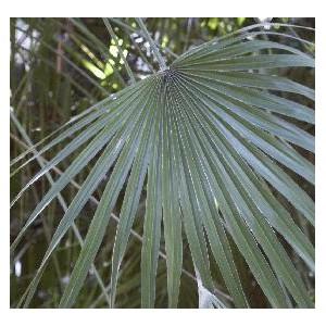 Palma Sabalowa (Sabal Mexicana) sadzonki min 1 liść
