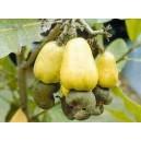 Nanercz, Nerkowiec Owocujący (Anacardium Occidentale) sadzonki