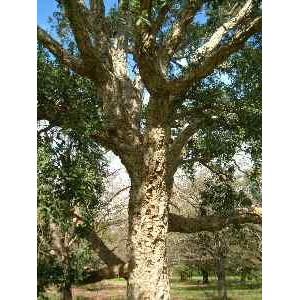 Dąb Korkowy (Quercus Suber) sadzonki