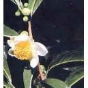 Herbata Chińska (Camelia Sinensis) 2 Letnia sadzonki