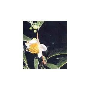 Herbata Chińska (Camelia Sinensis) tegoroczne sadzonki