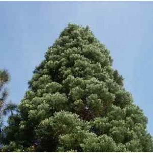 Mamutowiec Olbrzymi (Sequoia Giganteum) 3 letnie sadzonki