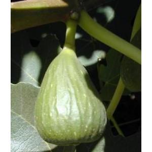 Figa Owocująca (Ficus Carica) nasiona 10 szt