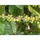 Kawa (Coffea Arabica) 3 Letnia sadzonki