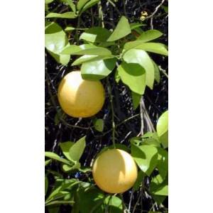 Grapefruit (Citrus Paradisi) sadzonki uzyskane z nasion