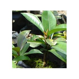 Mangostan (Garcinia sp) Sadzonki