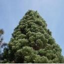 Sekwoja, Mamutowiec (Sequoiadendron Giganteum) nasiona