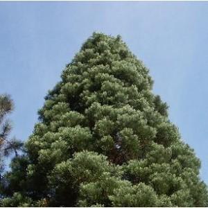 Sekwoja, Mamutowiec (Sequoiadendron Giganteum) nasiona 20 szt