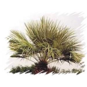 Szorstkowiec Fortunego, Palma mrozoodporna (Trachycarpus Fortunei) sadzonki 1-2 liście