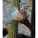Kaktus San Pedro (Trichocereus Spachianus, Torch Cactus) nasiona
