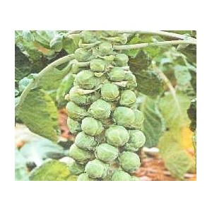 Kapusta Brukselska, Brukselka (Maczuga) nasiona