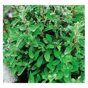 Majeranek jednoroczny (Origanum majorana) nasiona