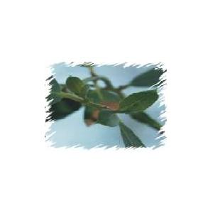 Eukaliptus Górski (Eucaliptus Gunii) nasiona 20 szt