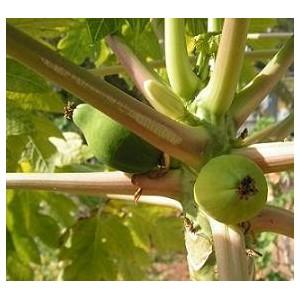 Papaja Owocująca (Carica Papaya) nasiona 50 szt